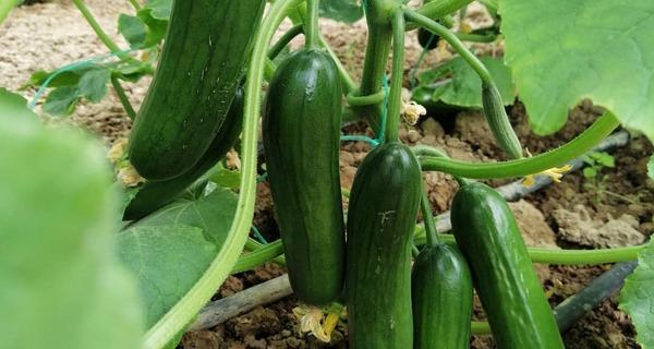 خواص خیار,cucumber benefit,o,hw odhv,cucumber properties