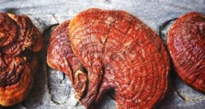 قارچ گانودرما چیست و آشنایی با عوارض و خواص قارچ گانودرما در درمان بیماری ها
